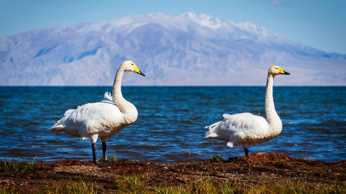 nature-photography-swan