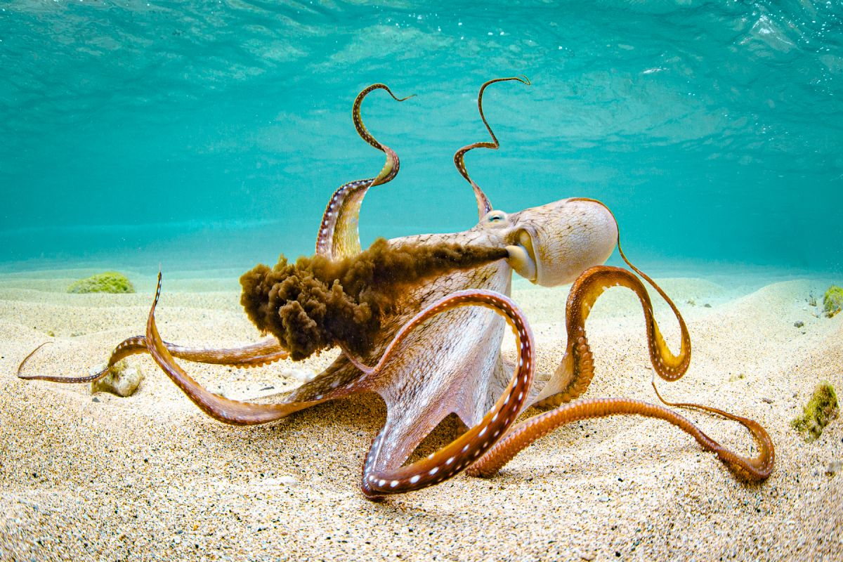award winning underwater phtography octopus by shane myers