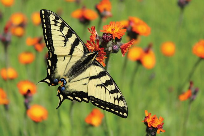 award winning photography butterfly by jim peacock