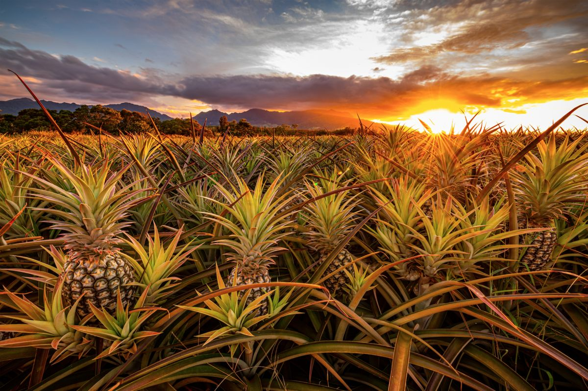 award winning landscape photography pineapple field sunset by gareth ormita