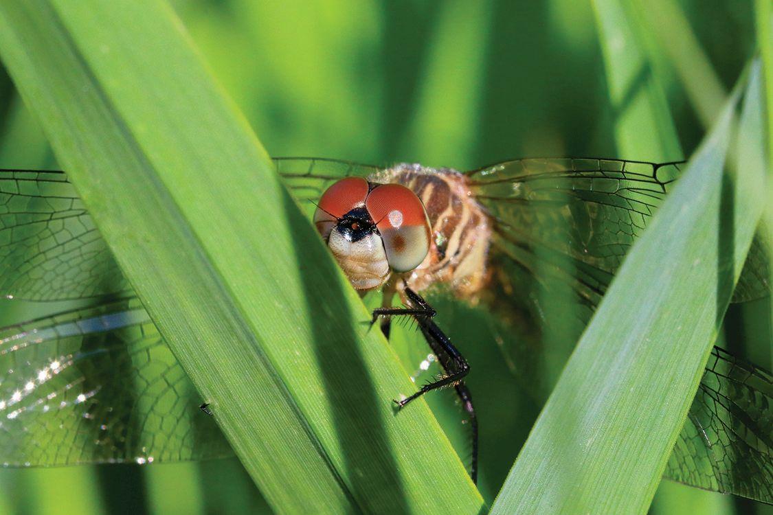 award winning nature photography dragonfly by patricia kolberg