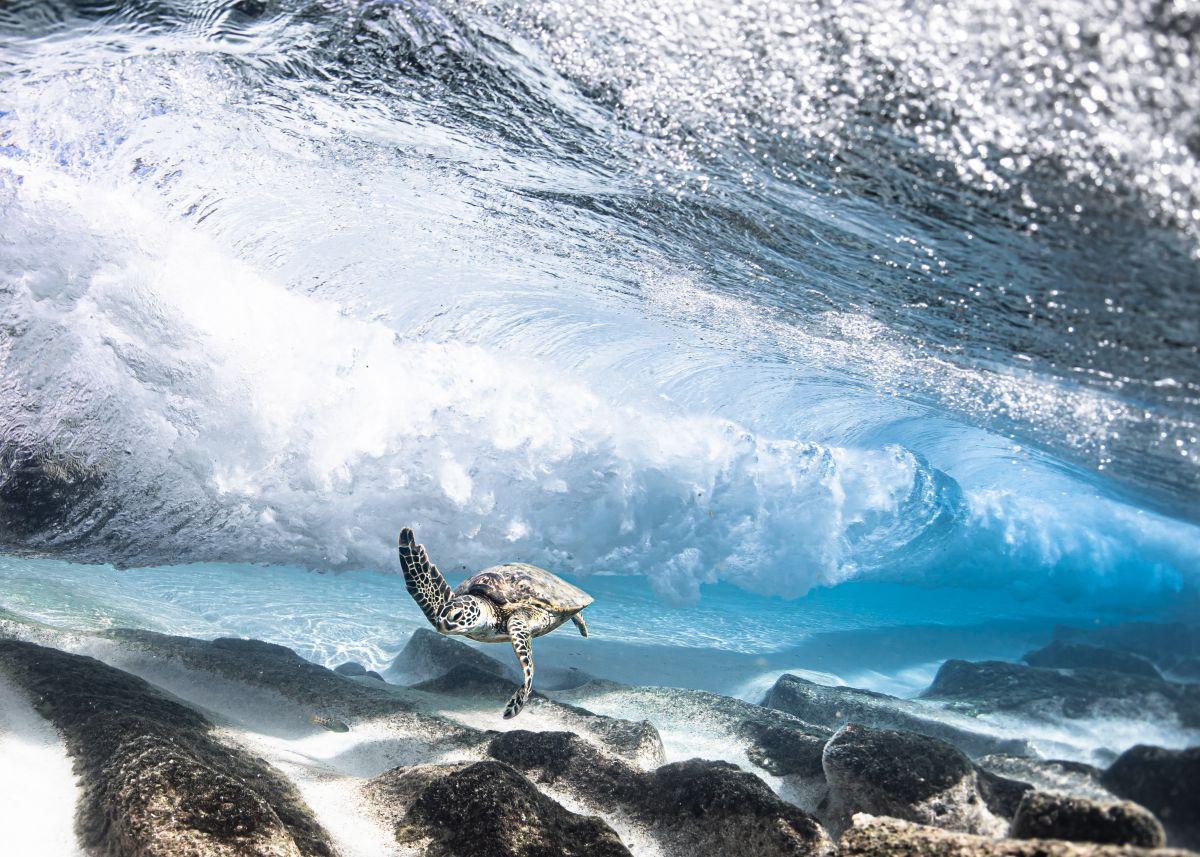 award winning underwater phtography honu by ron walker
