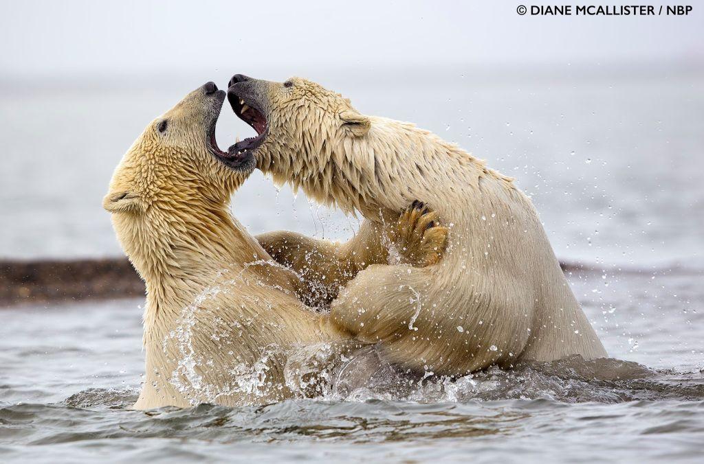award winning photography polar bear by diane mcallister