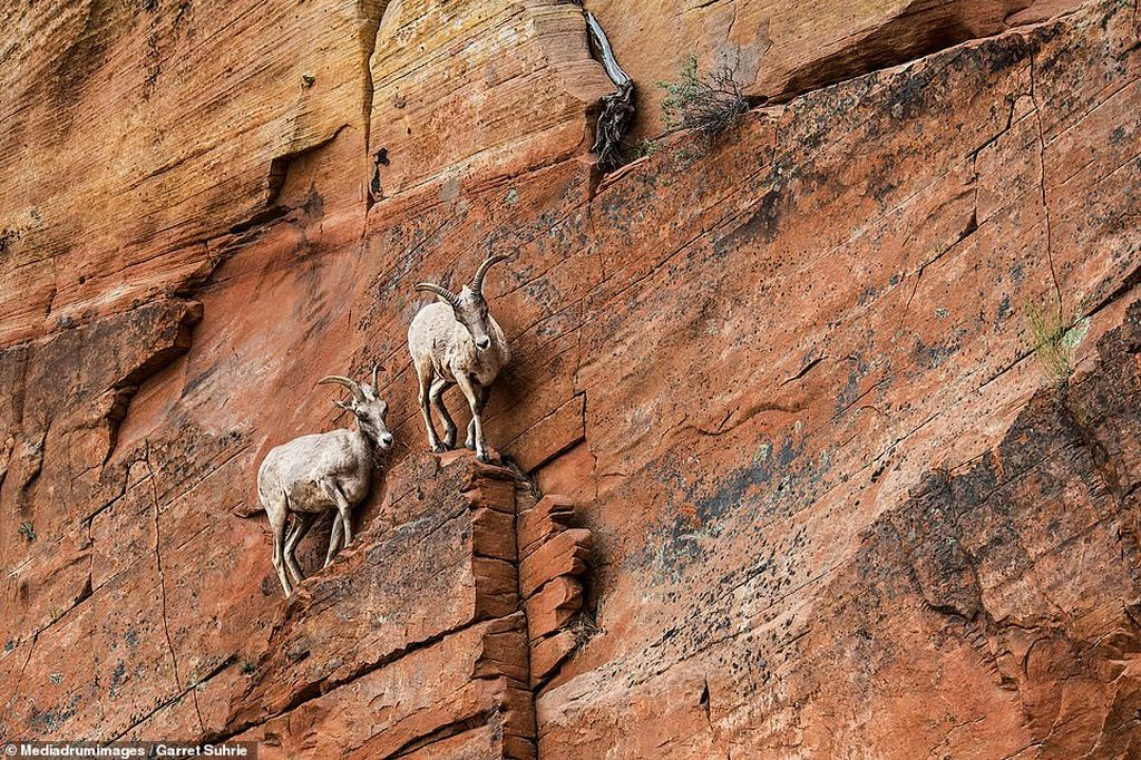 award winning photography goat by garret suhrie