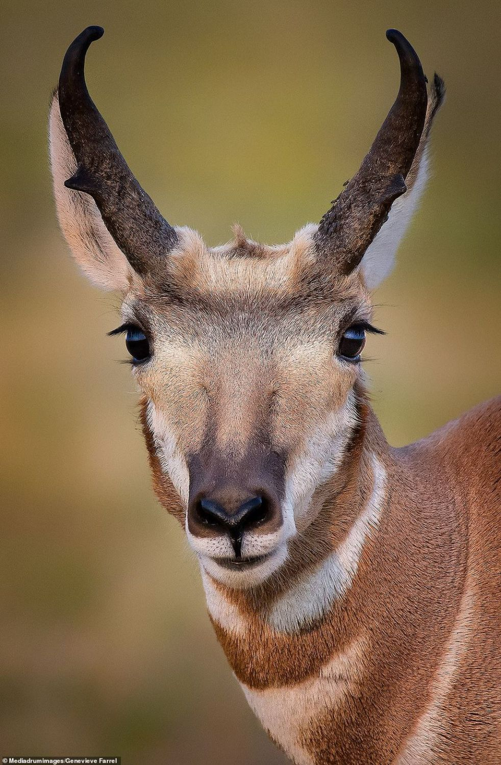 best wildlife picture pronghorn by genevieve farrell