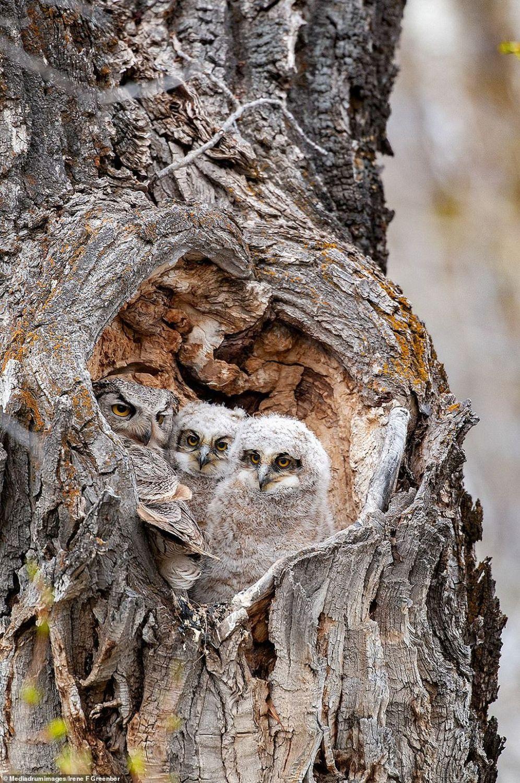 award winning bird photography owl by irene f greenberg