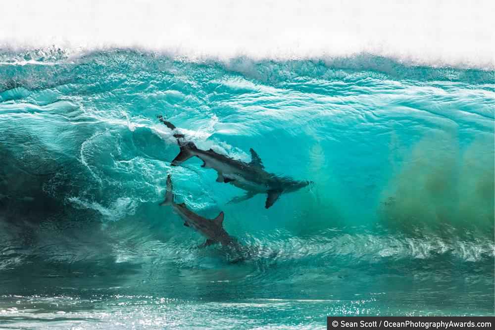underwater photography shark by sean scott
